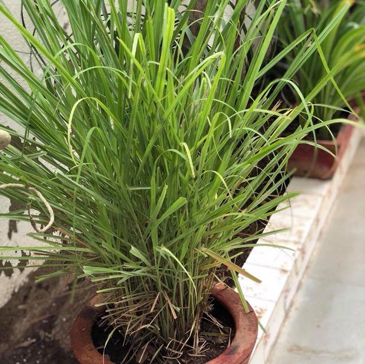Komal Patel,  lemongrass, tea, lemongrasstea, herbaltea, benefits, monsoon, monsooncare